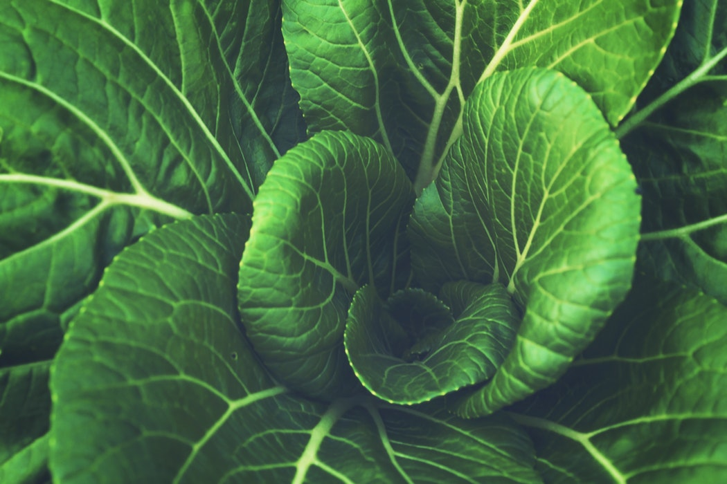 Home Remedies of Cabbage - Farmizen